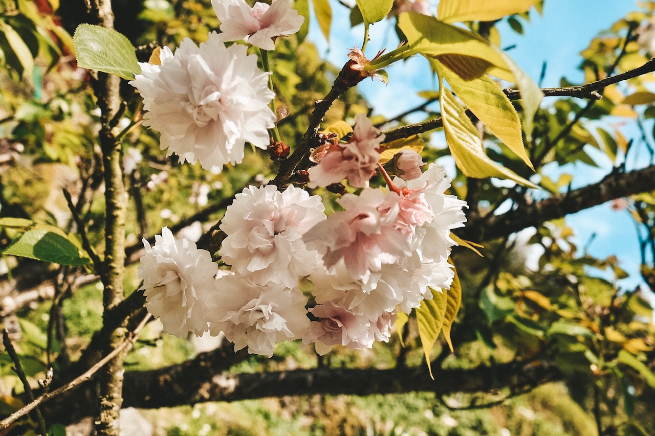Yangmingshan National Park Taipei Taiwan flower festival cherry blossom
