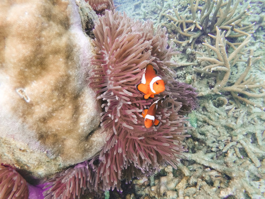 Tioman island malaysia Japamala resort snokeling clown fish
