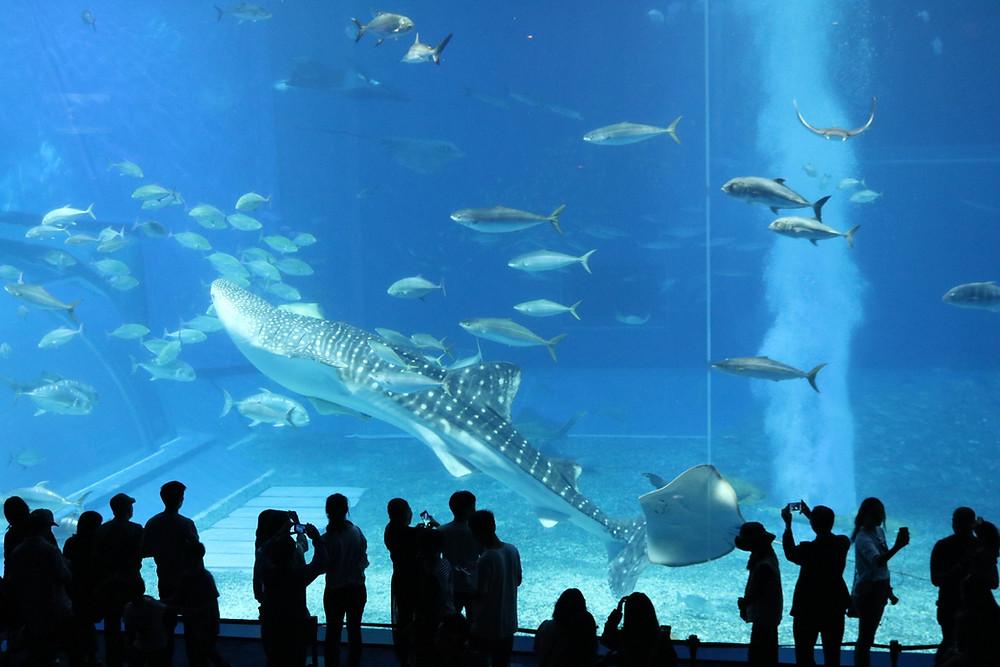 Churaumi Aquarium naha okinawa japan whale shark