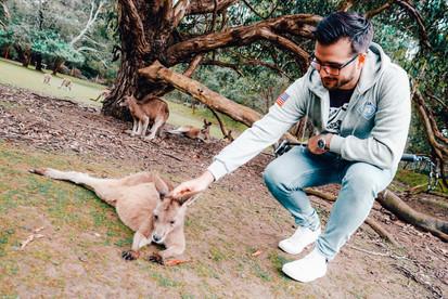 Kangaroos Unzoo Tasmania Port Arthrur
