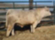 bull #1703.jpg