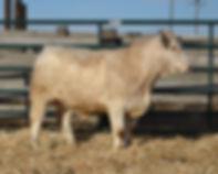 Bull #1811.jpg