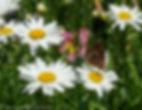 butterfly-on-daisy-2-7120030.jpg