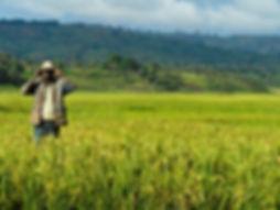 Rice_farm_-_Burundi_(1).jpg