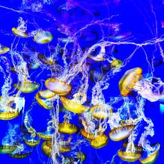 Jelly Fish Long Beach