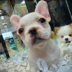 Village Puppies NYC
