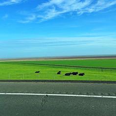 I-5 Cows