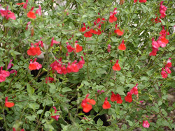 Salvia Greggeii