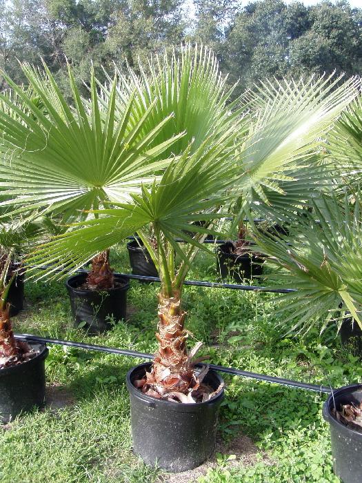 Washington Robusta (Mexican Fan Palm)