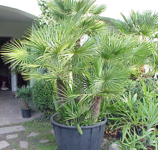 Chamaerops (Mediterranean Fan Palm)