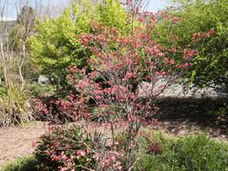 Cornus Kousa (Pink Dogwood)