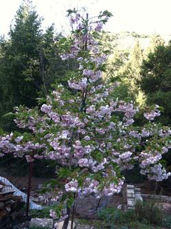 Prunus (Mt. Fuji Flowering Cherry new blooms)