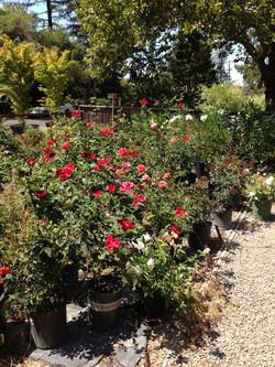 """""""John's Rose Garden"""""""