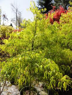 Acer palmatum `Koto-no-ito'