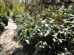 Prunus Lusitanica Portugese Laurel