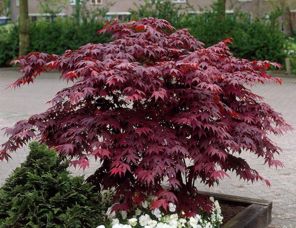 Acer palmatum `Bloodgood'