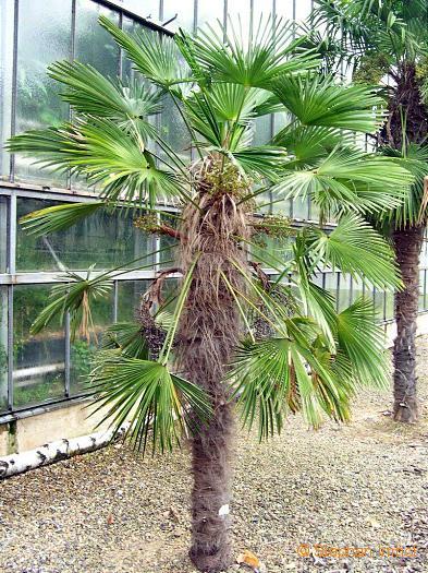 Trachycarpus (WIndmill Palm).jpg