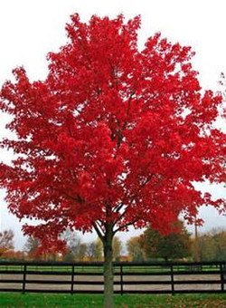 Acer rubrum `October Glory'