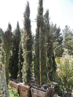 Cupressus (Italian Cypress)