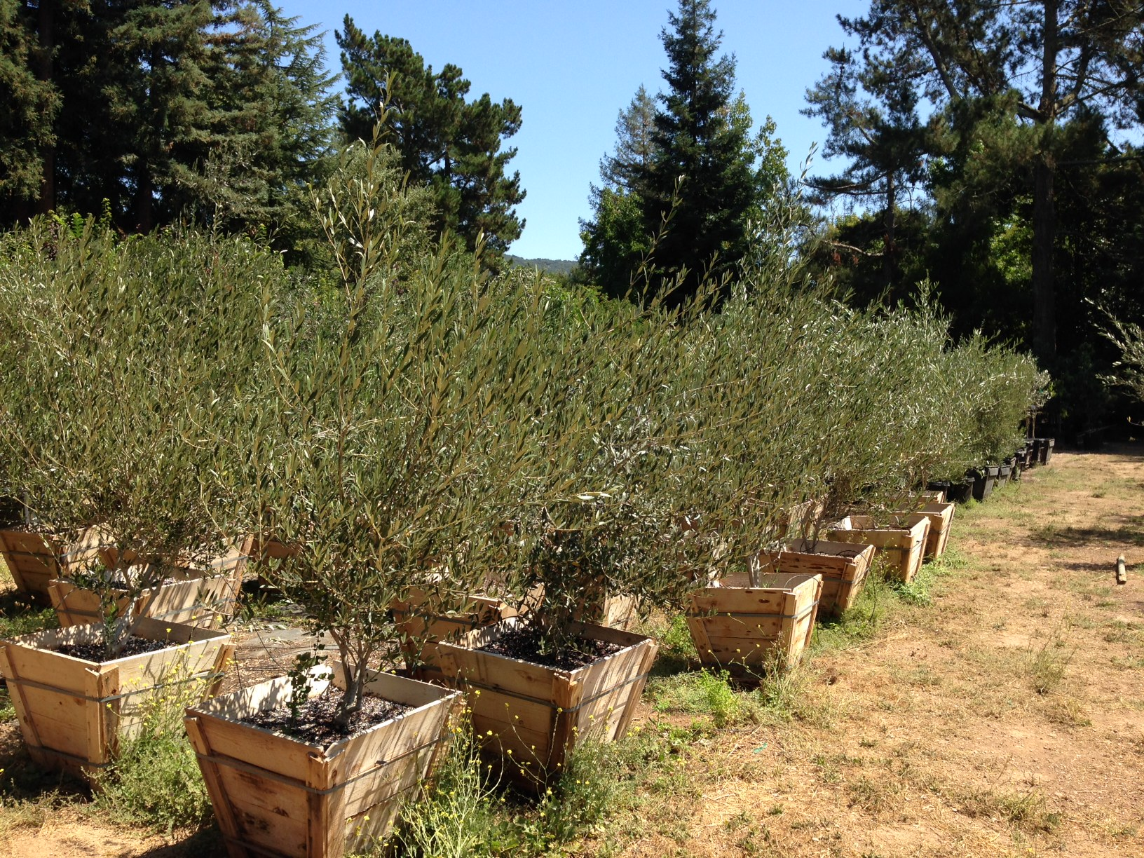 Olives Fruiting and Non-Fruiting