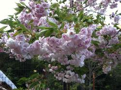 Mount Fuji Flowering Cherry Tree