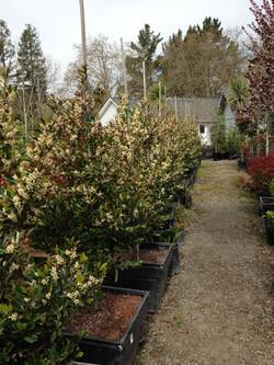 Prunus Carolina 2