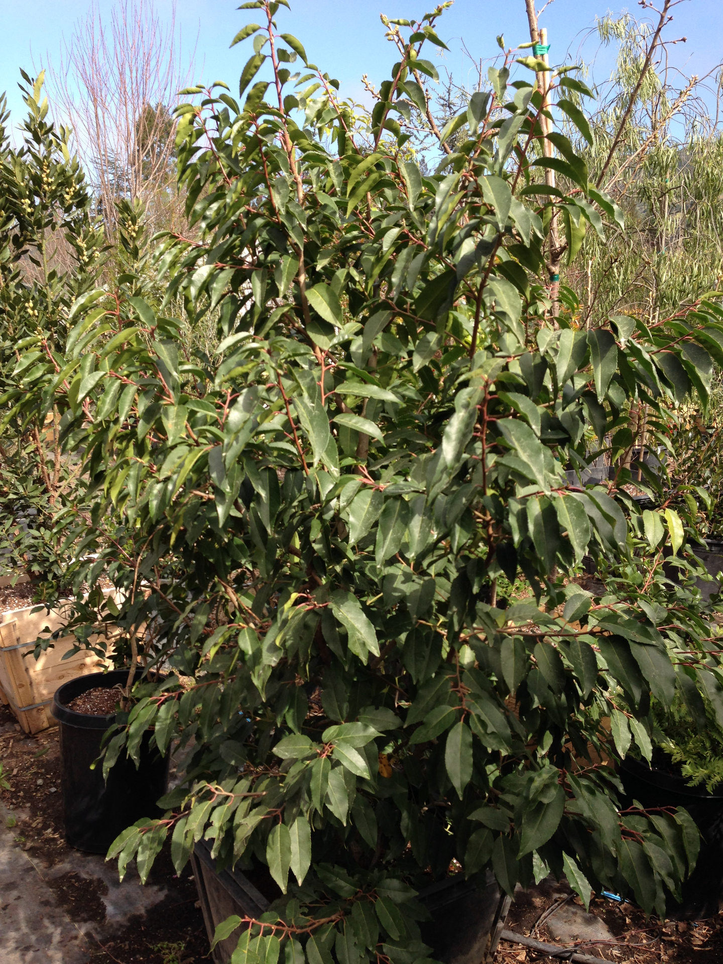 Portuguese Laurel Prunus