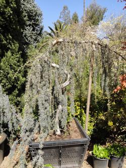 Cupressus (Serpintine Cypress)