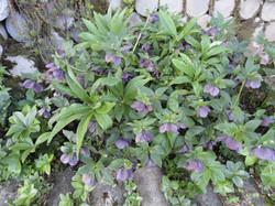 Helleborus (Purple)