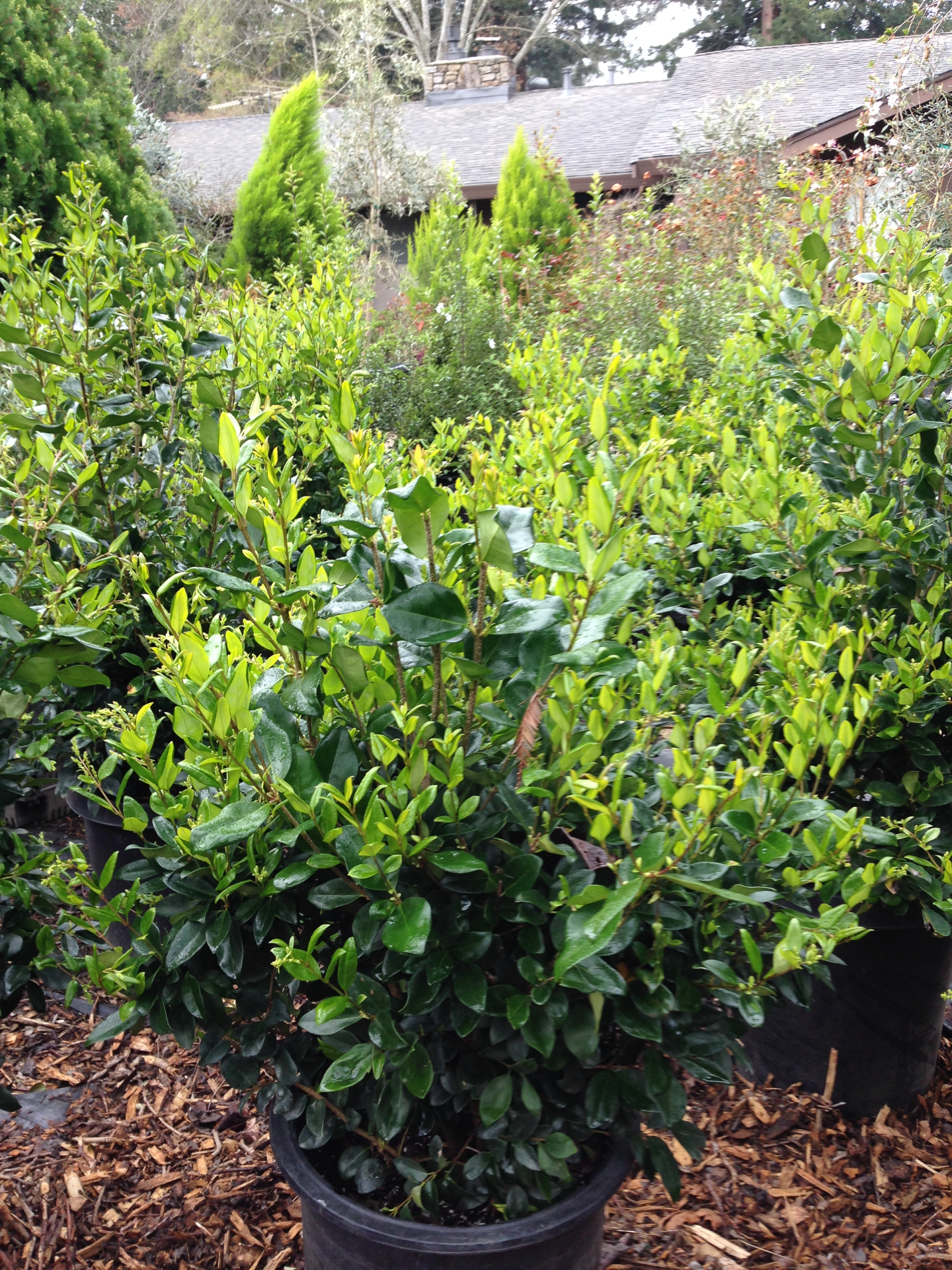 Ligustrum (Texas Privet)