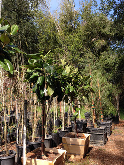 Magnolia Rustica