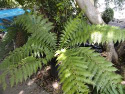 Dicksonia (New Zealand Tree Fern)