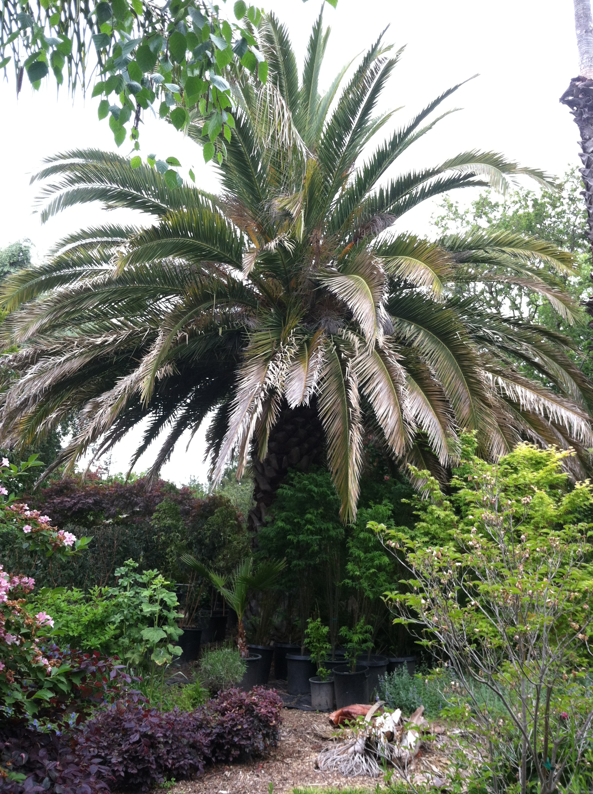 Phoenix Canariensis 30 years old