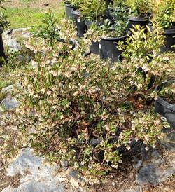 Arctostphylos (Manzanita)