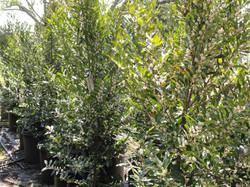 Prunus Carolina