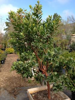 Arbutus Marina (Strawberry Tree)