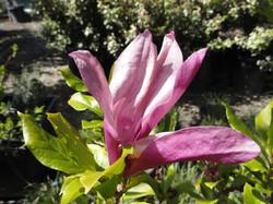 Magnolia (deciduous)