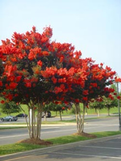 Lagerstromia Crepe Myrtle Red Rocket