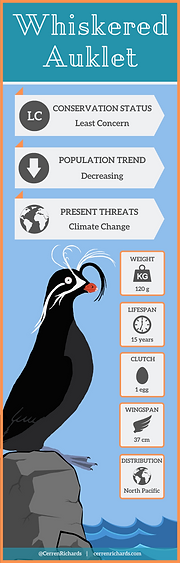 Whiskered Auklet (2).png
