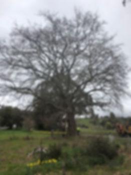 pruning trees tasmania arborist