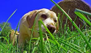 Help! My dog is eating grass! Why?!