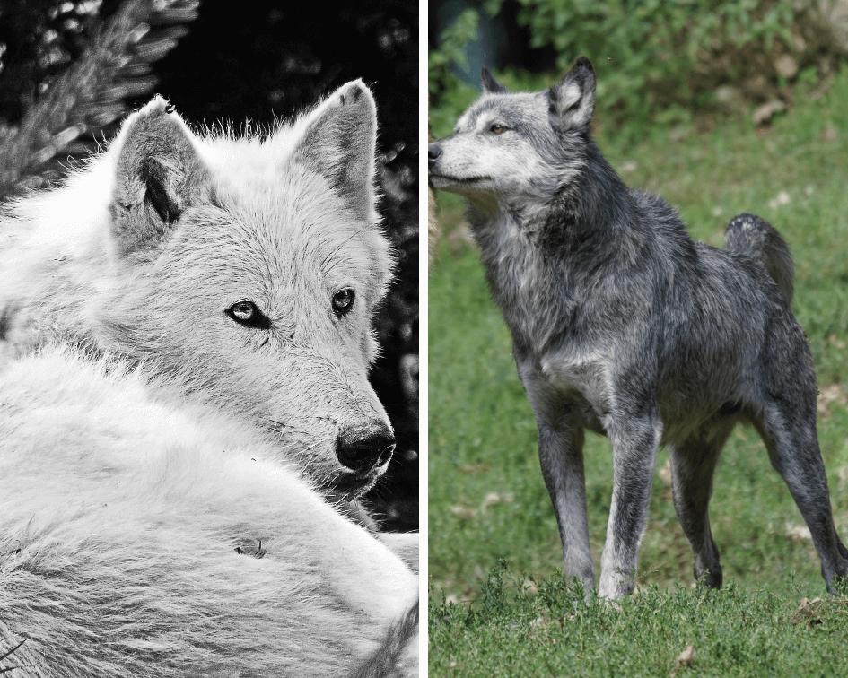Visualisierung - Metapher von zwei Wölfen