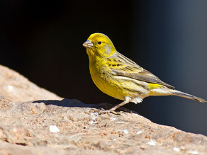 Canaries, Wild and Free