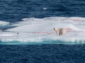 A Polar Bear and Beluga Whales