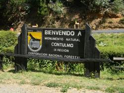 MONUMENTO NATURAL CONTULMO   CHILE