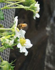 受粉に欠かせないミツバチ