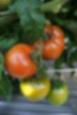 徐々に色付くトマト