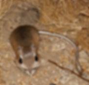 Kangaroo Rat D. Agilis.jpg
