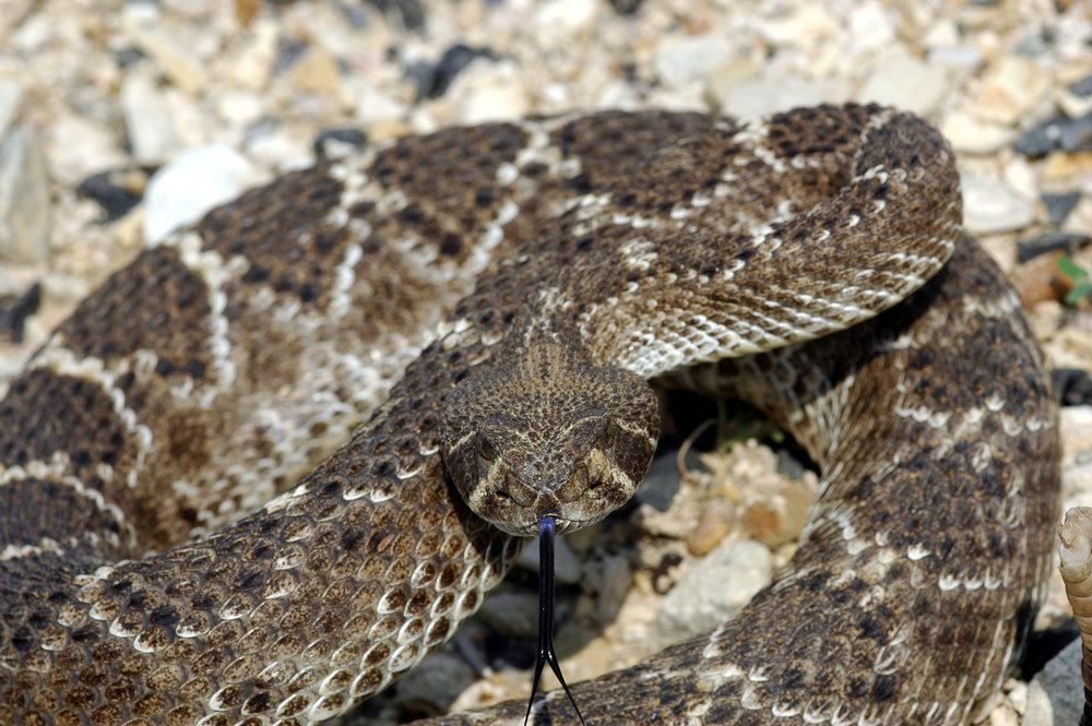 Western_Diamondback_Rattlesnake