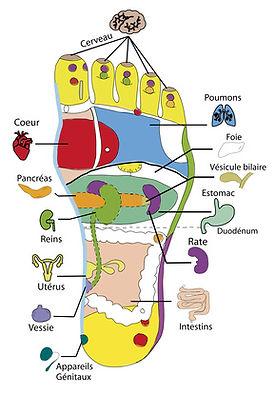 schéma réflexologie plantaire
